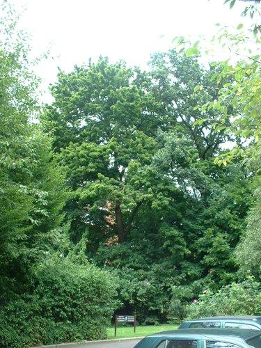 Erable plane – Uccle, Parc Cherridreux, parc privé –  16 Août 2005