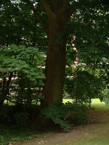 Tilleul argenté – Uccle, Parc Cherridreux, parc privé –  16 Août 2005
