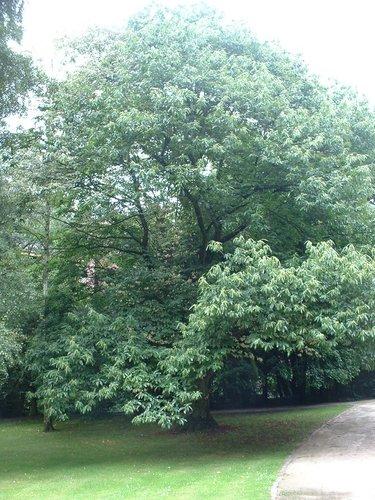 Castanea sativa f. aureomarginata<br>Uccle Parc Cherridreux