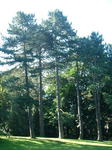 Pin noir d'Autriche – Uccle, Parc Cherridreux, parc privé –  18 Août 2005