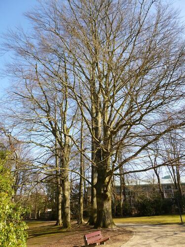 Hêtre pourpre – Uccle, Parc Cherridreux, parc privé –  05 Mars 2013