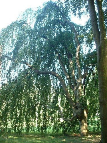 Hêtre pleureur – Uccle, Parc Cherridreux, parc privé –  18 Août 2005