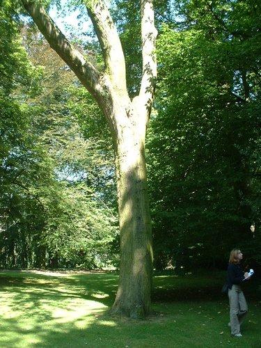 Acer saccharinum var. laciniatum – Uccle, Parc Cherridreux, parc privé –  18 Août 2005