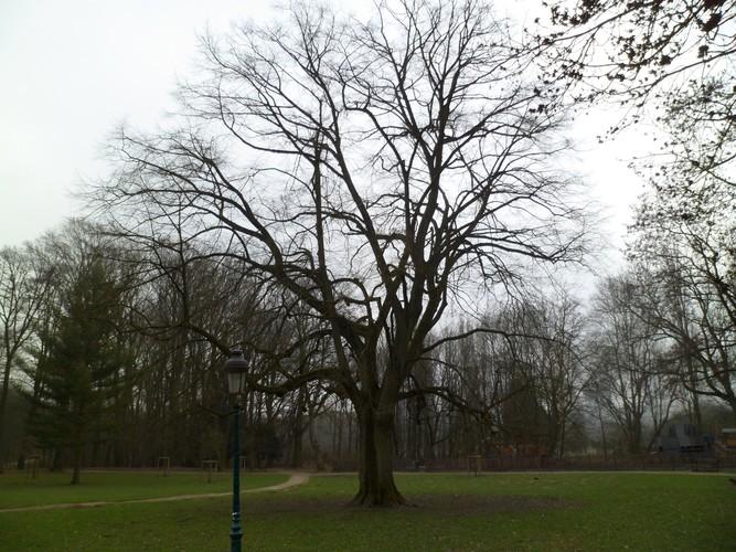 Tilleul argenté – Jette, Avenue du Laerbeek, 145 –  16 Mars 2012