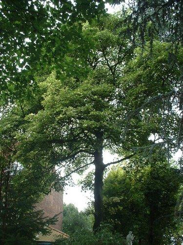 Acer pseudoplatanus f. aureovariegatum – Ukkel, Floréallaan, 53 –  26 August 2005