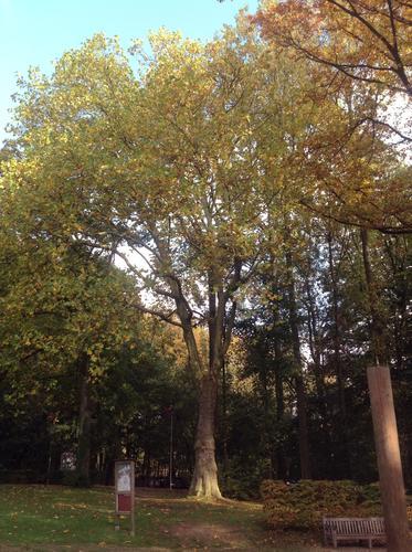 Platane à feuille d'érable – Jette, Avenue du Laerbeek –  24 Octobre 2013