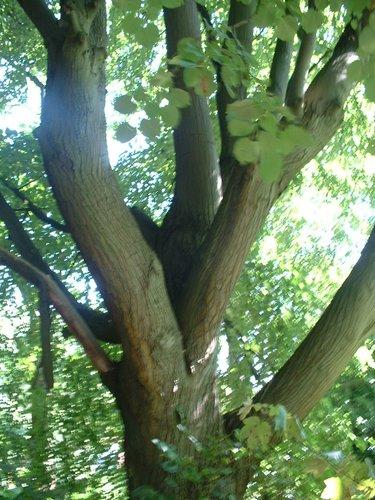 Tilleul à larges feuilles – Auderghem, Boulevard du Souverain –  31 Août 2005
