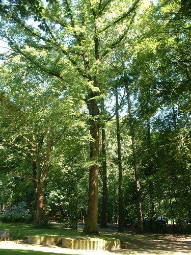 Chêne rouge d'Amérique – Jette, Avenue du Laerbeek –  29 Août 2005