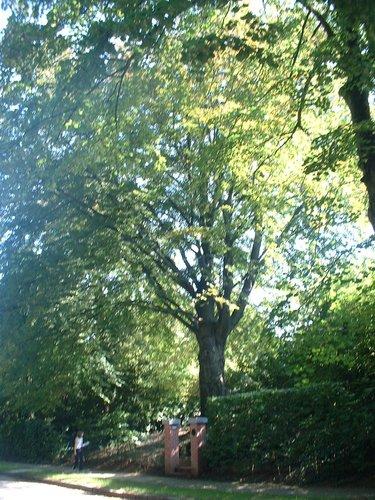 Hêtre pourpre – Auderghem, Drève du Prieuré, 11 –  30 Août 2005