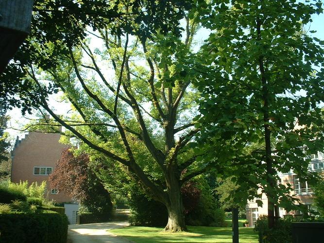 Chêne rouge d'Amérique – Auderghem, Drève du Prieuré, 25 –  30 Août 2005