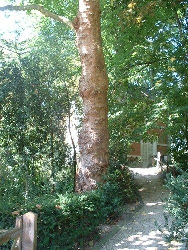 Platane à feuille d'érable – Auderghem, Parc du château Sainte Anne, Rue du Vieux Moulin, 103 –  30 Août 2005