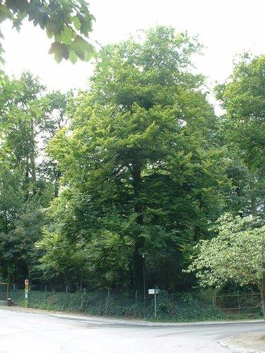 Beuk – Oudergem, Park van het Sint-Anna kasteel, Oude Molenstraat, 103 –  30 August 2005