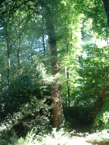 Hêtre à feuilles lacinées – Auderghem, Parc du château Sainte Anne, Rue du Vieux Moulin, 103 –  30 Août 2005