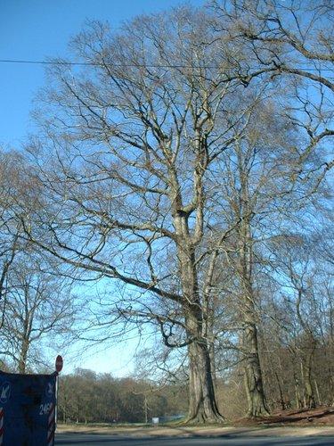 Hêtre d'Europe – Bruxelles, Bois de la Cambre, parc –  14 Mars 2003