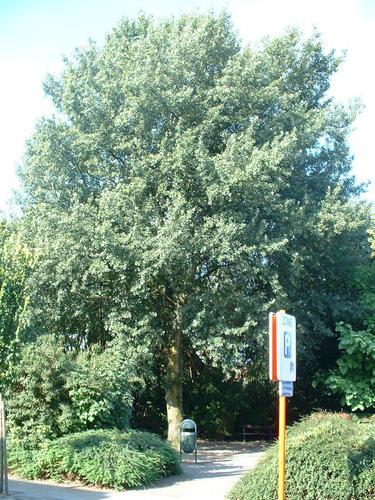 Peuplier grisard – Auderghem, Avenue Général Merjay –  05 Septembre 2005
