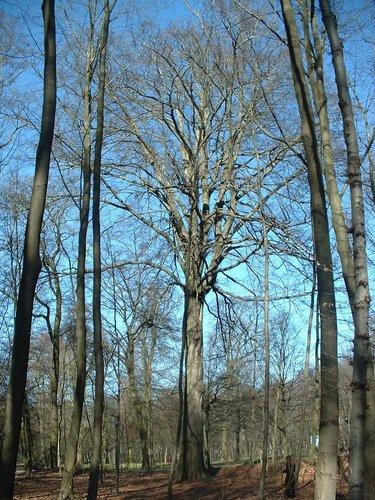 Hêtre d'Europe – Bruxelles, Bois de la Cambre, autre:bois –  14 Mars 2003