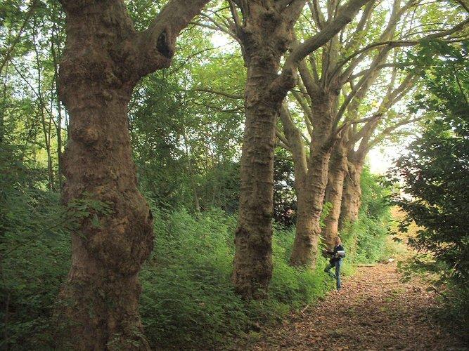 Platane à feuille d'érable – Auderghem, Boulevard du Souverain –  27 Septembre 2005