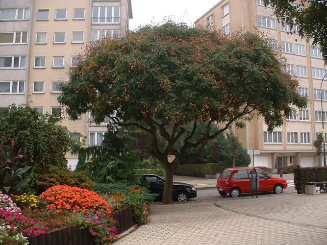 Savonnier de Chine<br>Auderghem Avenue Gabriel Emile Lebon