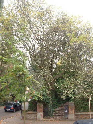 Sorbier blanc/Alouchier<br>Auderghem Avenue du Parc de Woluwe, 44