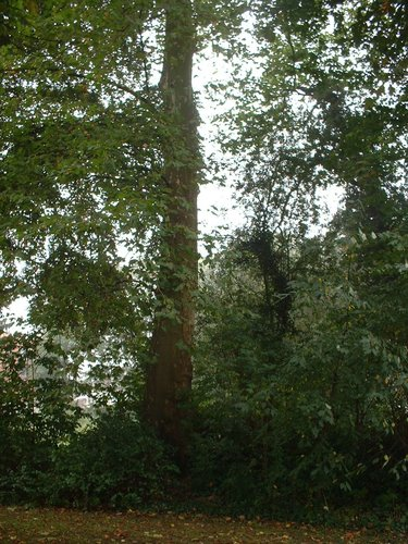 Platane à feuille d'érable – Molenbeek-Saint-Jean, Rue Paloke, 40 –  06 Octobre 2005