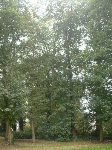 Gewone plataan – Sint-Jans-Molenbeek, Palokestraat, 40 –  06 Oktober 2005