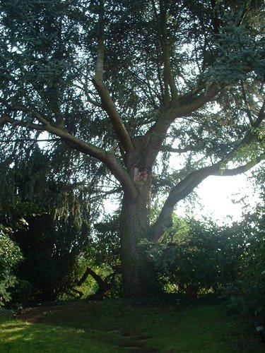 Cèdre bleu de l'Atlas – Auderghem, Avenue des Citrinelles, 70 –  14 Octobre 2005