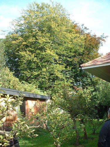 Hêtre pourpre – Forest, Avenue Kersbeek, 162 –  18 Octobre 2005