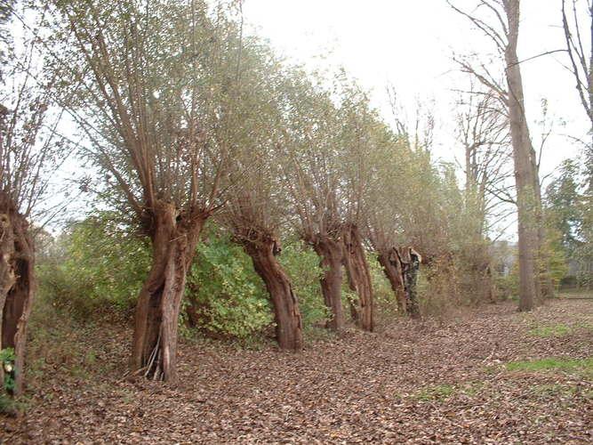 Saule blanc – Forest, Parc du Bempt, parc –  04 Novembre 2005
