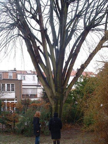 Tilleul argenté – Woluwé-Saint-Lambert, Avenue du Castel, 26 –  28 Février 2006