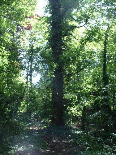 Erable sycomore – Schaerbeek, Parc Walckiers, parc –  26 Mai 2005