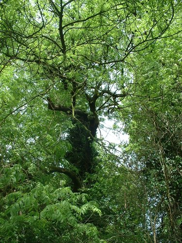 Frêne commun – Schaerbeek, Parc Walckiers, parc –  26 Mai 2005