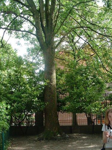 Erable sycomore – Schaerbeek, Parc Walckiers, Rue Chaumontel –  26 Mai 2005