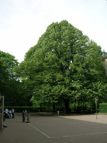 Tilleul argenté – Schaerbeek, Parc Walckiers, Rue Chaumontel –  26 Mai 2005