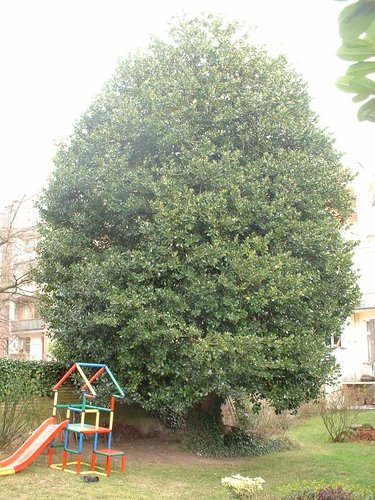 Ilex aquifolium 'Pyramidalis' – Etterbeek, Avenue de l'Armée, 57 –  10 Avril 2006