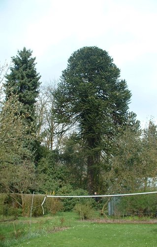 Araucaria du Chili – Uccle, Avenue du Vert Chasseur, 9 –  19 Avril 2006