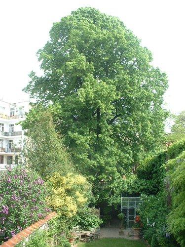 Tilleul à larges feuilles – Etterbeek, Rue des Bollandistes, 22 –  15 Mai 2006