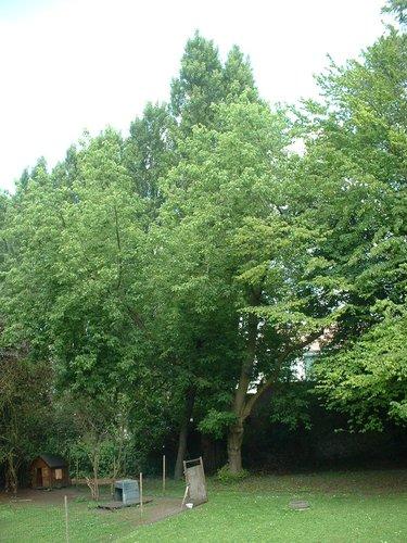 Erable à feuilles de frêne – Forest, Chaussée de Bruxelles, 150 –  23 Juin 2006