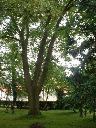 Chêne rouge d'Amérique – Auderghem, Avenue Jean Van Horenbeeck, 149a –  27 Juin 2006