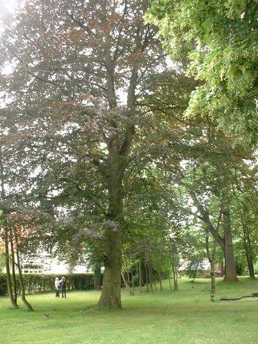 Hêtre pourpre – Auderghem, Avenue Jean Van Horenbeeck, 149a –  27 Juin 2006