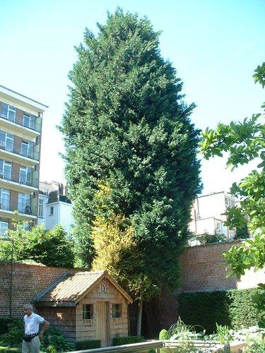 Chamaecyparis sp – Ixelles, Avenue Molière, 246 –  03 Juillet 2006