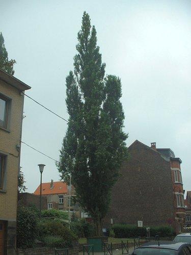 Peuplier d'Italie – Forest, Rue de Liège –  07 Juillet 2006