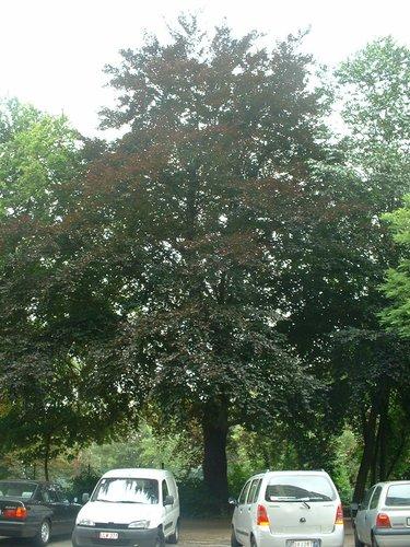 Hêtre d'Europe – Forest, Avenue du Domaine, 150 –  07 Juillet 2006