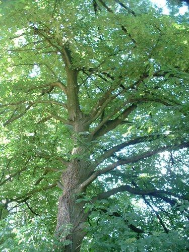 Tilia sp – Forest, Avenue du Domaine, 150 –  10 Juillet 2006