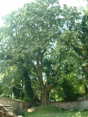 Tilleul argenté – Uccle, Avenue Brugmann, 399 –  12 Juillet 2006