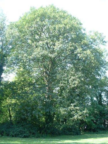 Erable sycomore – Forest, Abbaye de Forest, parc –  12 Juillet 2006