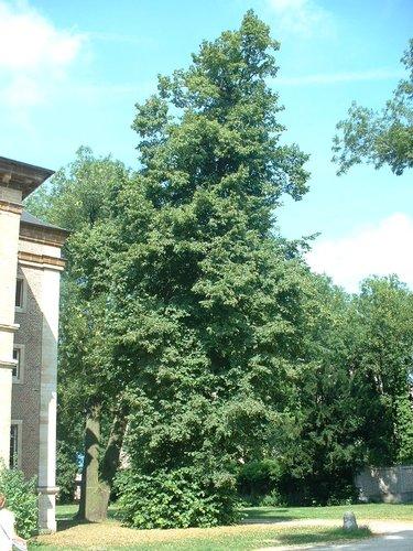 Tilleul à larges feuilles – Forest, Abbaye de Forest, parc –  12 Juillet 2006