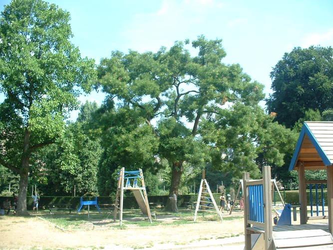 Japanse honingboom – Vorst, Abdij van Vorst, Omer Denissquare –  12 Juli 2006