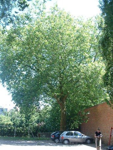 Gewone plataan – Vorst, Roosendaelstraat, 175 –  14 Juli 2006