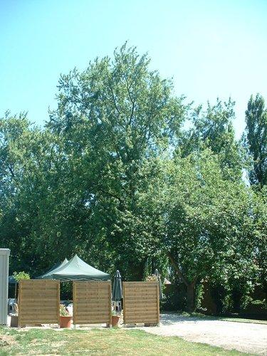 Acer saccharinum var. laciniatum – Vorst, Roosendaelstraat, 175 –  14 Juli 2006
