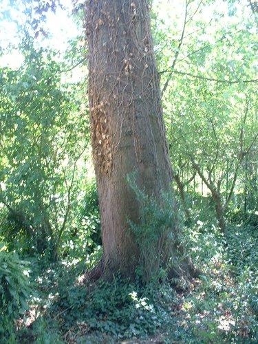 Erable argenté – Forest, Rue Roosendael, 175 –  14 Juillet 2006